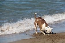 Digging dog // Chien qui creuse